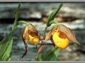 Yellow Lady's Slipper (Cypripedium Calceolus)