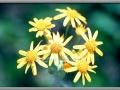 Sunflower (Helianthus Tuberosus)