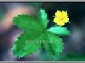 Swamp Buttercup (Ranunculus Hispidus)