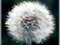 Dandelion (Taraxacum Laevigatum)