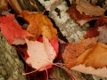 autumn; fall; upper; peninsula; michigan; leaf; leaves; maple; foliage; color; nature; alger; county