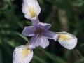 Blue Flag Iris (Iris versicolor)