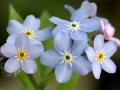 Forget-Me-Nots (Cynoglossum amabile)