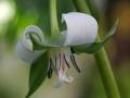 Nodding Trillium (Trillium Cernuum)