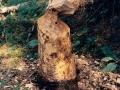 Beaver-cut tree