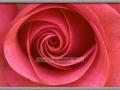 Inner Beauty - Pink Rose