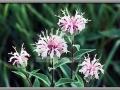Missouri Ironweed (Veronica Missurica)