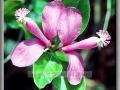 Fringed Polygala or Gaywings (Polygala Paucifolia)