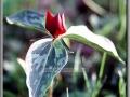 Purple Trillium (Trillium Recurvatum)