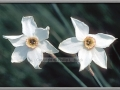 Dwarf Daffodils