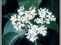 Hedge Parsley (Torilus Japonica)