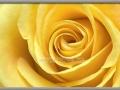 Inner Beauty - Yellow Rose