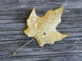 Maple Leaf on Picnic Table After the Rain