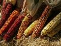 Indian Corn on straw