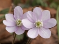 Hepatica (Hepatica nobilis)