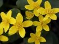 Marsh Marigolds (Caltha palustris)