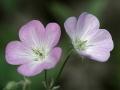 Wild Geranium ((Geranium maculatum)