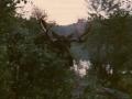 Early morning moose visit